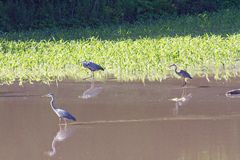 Three Great Blue Herons Stock Image