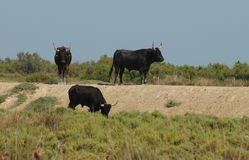 Three great bulls in the Camargue region in France Stock Photography