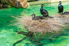 Three great cormorants taking a rest on a pile of straws Stock Photo
