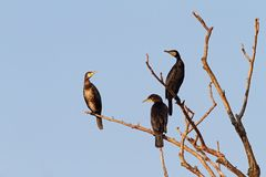 Three great cormorants on the tree Stock Photos