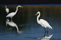 Three Great Egrets Hunting for Fish Royalty Free Stock Photos