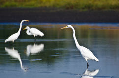 Three Great Egrets Hunting for Fish Royalty Free Stock Photography