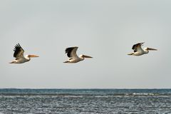 Three great pelicans in flight over water Royalty Free Stock Photo