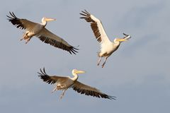 Three great pelicans flying Stock Images