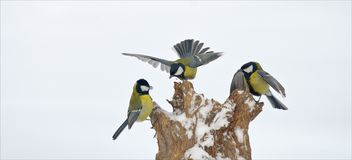 Three Great Tits arguing with each other stock image