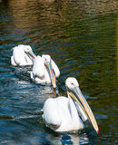 Three Great White Pelicans Royalty Free Stock Image