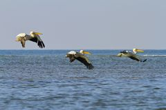Three great white pelicans flying over sea Stock Images