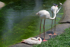 Three greate flamingo Stock Photo