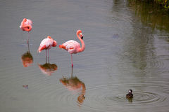 Three Greater Flamingo standing in the water with duck stock image