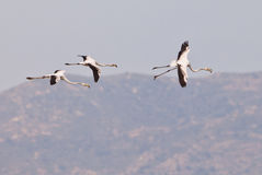 Three Greater Flamingos in flight Stock Photography