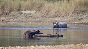 Three greater one-horned rhinoceros taking bath in Nepal Stock Photo