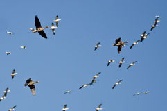 Three Greater White-Fronted Geese Flying Amid the Flock of Snow Geese Stock Images