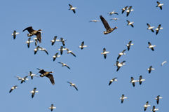 Three Greater White-Fronted Geese Flying Amid the Flock of Snow Geese Royalty Free Stock Image