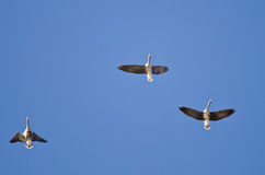 Three Greater White-Fronted Geese Flying in a Blue Sky Stock Photos