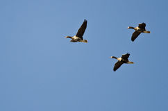 Three Greater White-Fronted Geese Flying in a Blue Sky Stock Image