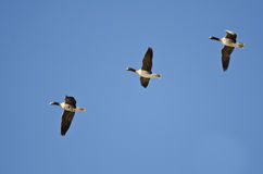 Three Greater White-Fronted Geese Flying in a Blue Sky Royalty Free Stock Photo