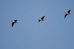 Three Greater White-Fronted Geese Flying in a Blue Sky Stock Photo