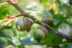 Three green acorn nuts on oak tree branches Stock Photography