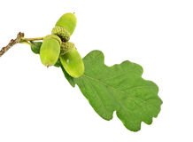 Three green acorns with leaf Stock Image