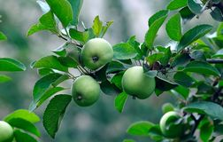 Three green apples on a tree Stock Image