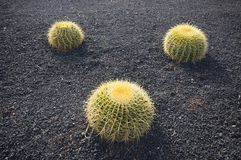 Three green cactuses Stock Images