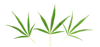 Three green cannabis leaf. Three cannabis leaf isolated on white background Royalty Free Stock Images