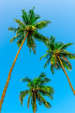 Three green coconut palms with nuts Stock Photos