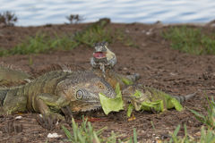 Three Green Iguanas fouraging over some lettuce Stock Image