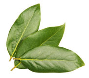 Three green laurel  leaves. Three green laurel leaves on white background Stock Images