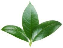 Three green leaf Stock Photo