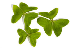 Three Green Leaf Clovers on White Background Royalty Free Stock Photography