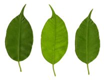 Three green leafs Stock Photography
