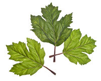 Three Green Leaves Stock Photos