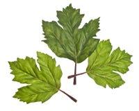 Three Green Leaves Stock Photos