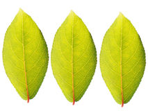 Three green leaves Royalty Free Stock Photography