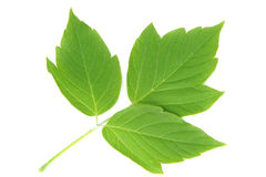 Three green leaves. Branch with three green leaves on a white background Stock Photography