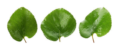 Three green leaves of apricots isolated on the white background Royalty Free Stock Photos