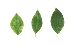Three green leaves from bush isolated on white royalty free stock images