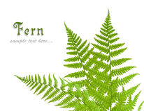 Three green leaves of fern Royalty Free Stock Photography