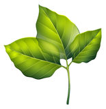 Three green leaves Royalty Free Stock Image