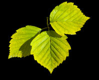 Three green leaves isolate on black background Royalty Free Stock Photography