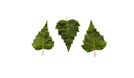 Three green leaves, one upside-down Stock Images