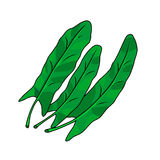Three green leaves of sorrel. Vector illustration. Stock Photo