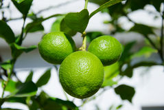 Three green lemons Royalty Free Stock Photo