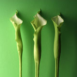 Three Green Lillies Stock Photo