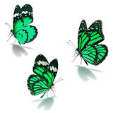 Three green monarch butterfly. Isolated on white background royalty free stock photos