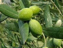 Three green olives on the branch Royalty Free Stock Image