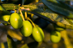 Three green olives hanging in a tree. Three green olives hanging in the tree Royalty Free Stock Image