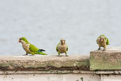 Three green parrots standing on the concret railing stock images