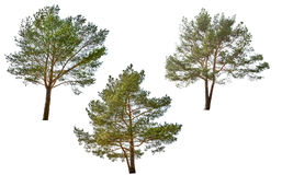 Three green pine isolated on white Royalty Free Stock Images